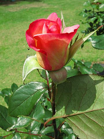 140519-rose001.jpg