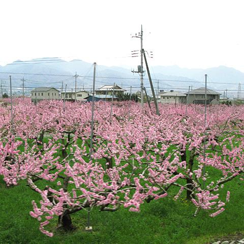 A1936-002-20160410-kofubonchi-momo.jpg